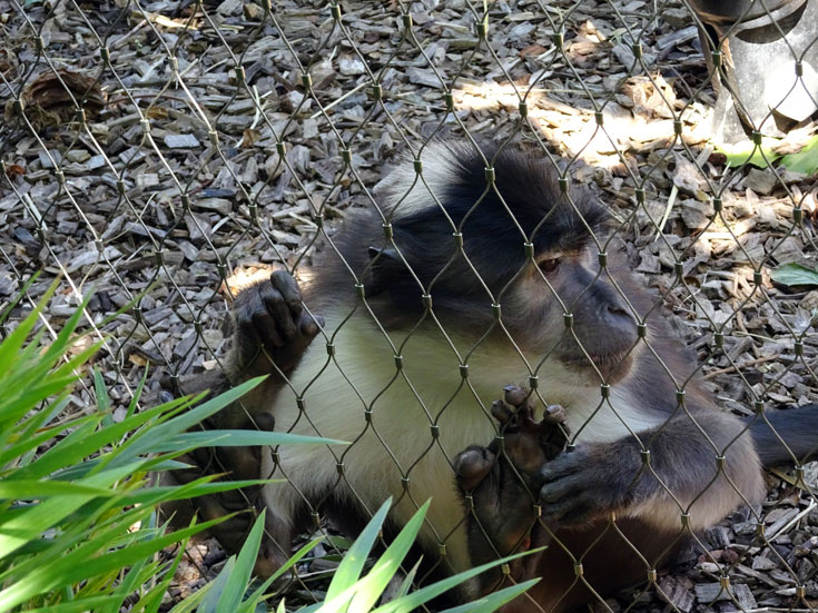 Visiting London Zoo tips- gorillas